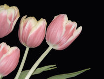 Four Pink Tulips. Four pink and yellow tulips isolated on a black background Stock Images