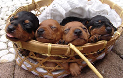 Four pinscher puppies. Four four weeks old pure breed miniature pinscher puppies sleeping in a basket stock photos