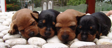 Four pinscher puppies. Four four weeks old pure breed miniature pinscher puppies sleeping on the rocks royalty free stock images