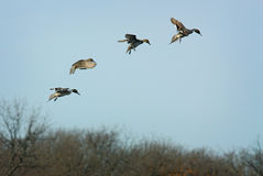 Four Pintails Stock Photography