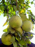 Four Pomelo fruits Royalty Free Stock Images