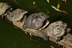 Four Pond slider turtle (Trachemys Scripta) sunbathing on trunk above lake in ZOO Stock Images