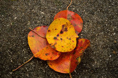 Four popcorn tree leaves in fall on concrete Stock Image