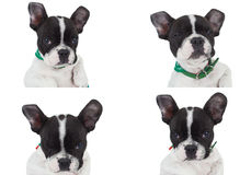 Four Poses Of A Really Cute French Bulldog Stock Photography