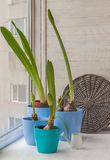 Four pot with Hippeastrum on the window Royalty Free Stock Photography