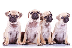 Four precious pug puppy dogs Stock Image
