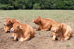 Four pregnant Limousin beef cows lying chewing the cud. In the hot summer sun with their eyes closed Stock Images