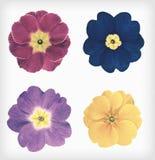 Four Primrose Flowers Isolated Retro Vintage Style Stock Photography