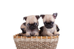 Four pug puppy in a basket Stock Images