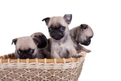 Four pug puppy in a basket Royalty Free Stock Images