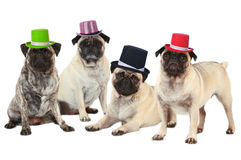 Four pugs with hats