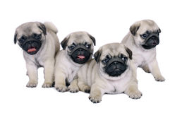 Four puppies. Four puppies of breed a pug isolated on a white background Royalty Free Stock Photography