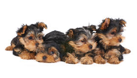 Four puppies Stock Photography