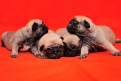 Four puppies. Looking at you Royalty Free Stock Images