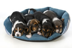 Four puppies Royalty Free Stock Image
