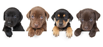 Four puppies above banner royalty free stock images