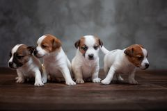 Four puppies of breed Jack Russell Terrier stand together. On the wooden floor against the gray wall stock photography