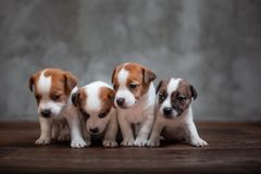Four puppies of breed Jack Russell Terrier stand together. On the wooden floor against the gray wall royalty free stock image