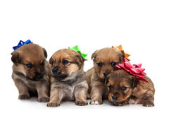Four puppies Royalty Free Stock Photo