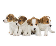 Four puppies Jack Russell Terrier Stock Photography