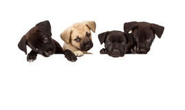Four puppies over a blank white banner