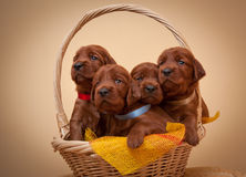 Four puppies of setter sit in basket Stock Photography
