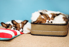 Four puppies sleeping Stock Photo