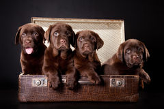 Four puppies in vintage suitcase Stock Photos