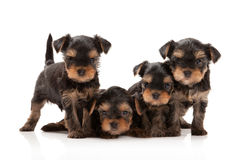Four puppies of the Yorkshire Terrier Stock Images