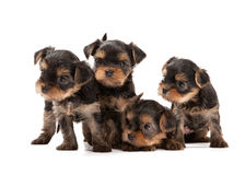 Four puppies of the Yorkshire Terrier Stock Photos