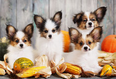 Four puppy with pumpkin Stock Photography
