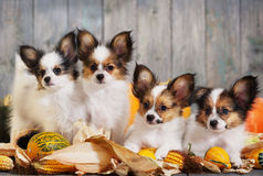 Four puppy with pumpkin Royalty Free Stock Image