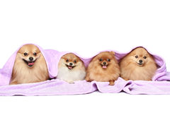 Four puppy spitz dog under a blanket Royalty Free Stock Image