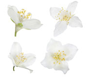 Four pure white isolated jasmine blooms Royalty Free Stock Photo
