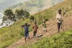 Four pygmy children gather potatoes in a sloping field on the mountainside.
