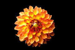 Four Queens Dahlia Royalty Free Stock Photos
