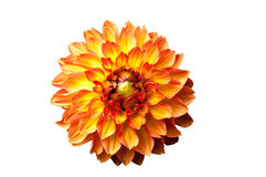 Four Queens Dahlia Stock Images