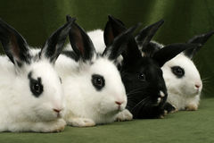 Four rabbits Stock Images