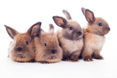 Four rabbits isolated on the white. Royalty Free Stock Photography