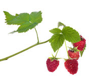 Four raspberries with green leaves. Red ripe raspberry with green leaves isolated on white backround Stock Image