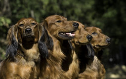 Four red Dachshund Royalty Free Stock Photo