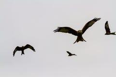 Four red kites or milvus milvus Stock Images
