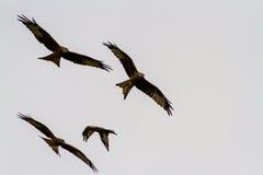 Four red kites or milvus milvus Stock Photo