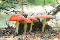Four red mushrooms fungi Royalty Free Stock Photo