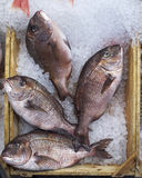 Four red porgies fish in a tray Royalty Free Stock Photos