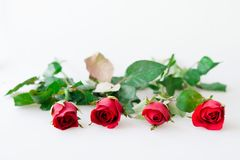 Four red rose and leaves on white. Background stock photography