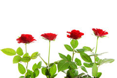Four red roses in a row Royalty Free Stock Image