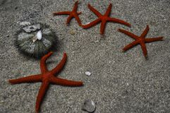 Several starfish laying on the sand royalty free stock image