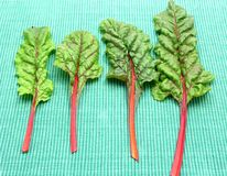 Four red stemmed chard Stock Photos