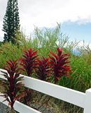 Four Red Ti Plants, White Picket Fence, Leafy Green Plants, and Tall Trees on a Cloudy Day. Big Island, Honokaa, Hawaii royalty free stock photos